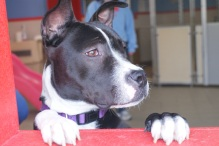 Jozie from Coming Home Rescue